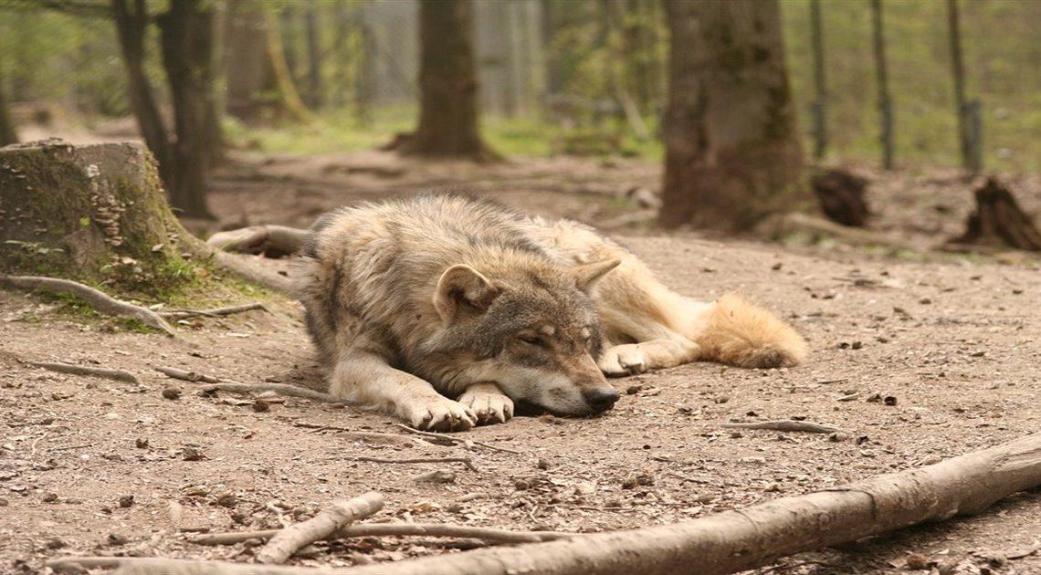 История спасения волка