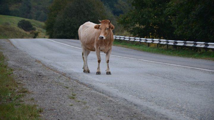 Случай на дороге с участием внедорожника и… коровы
