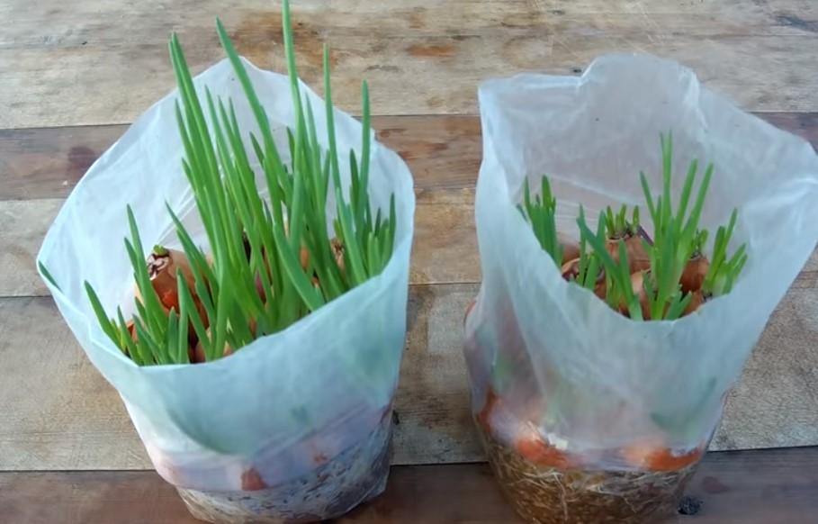 «Как выращивать зеленый лук в домашних условиях «