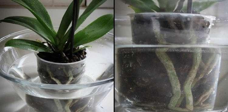 Чудодейственный настой для цветения орхидеи