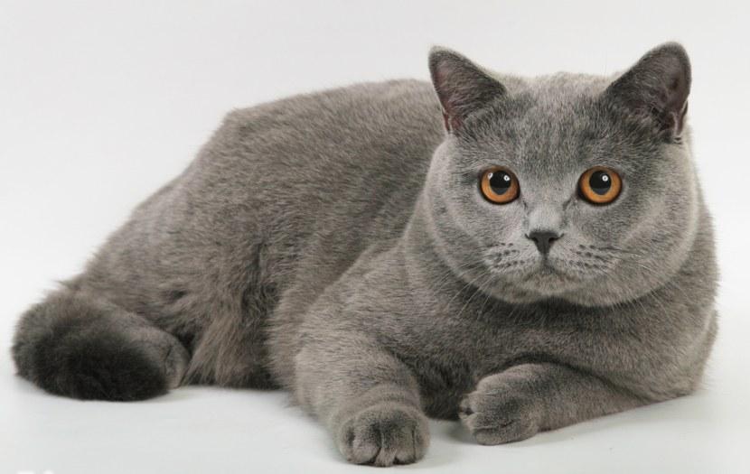Про одного хитренького британского котика