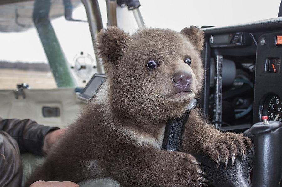 И медвежонка приютил, и мать ему заменил