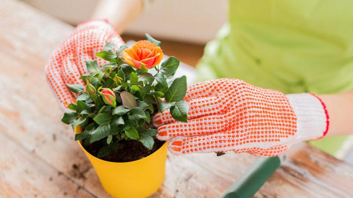 Как выращивать розы дома